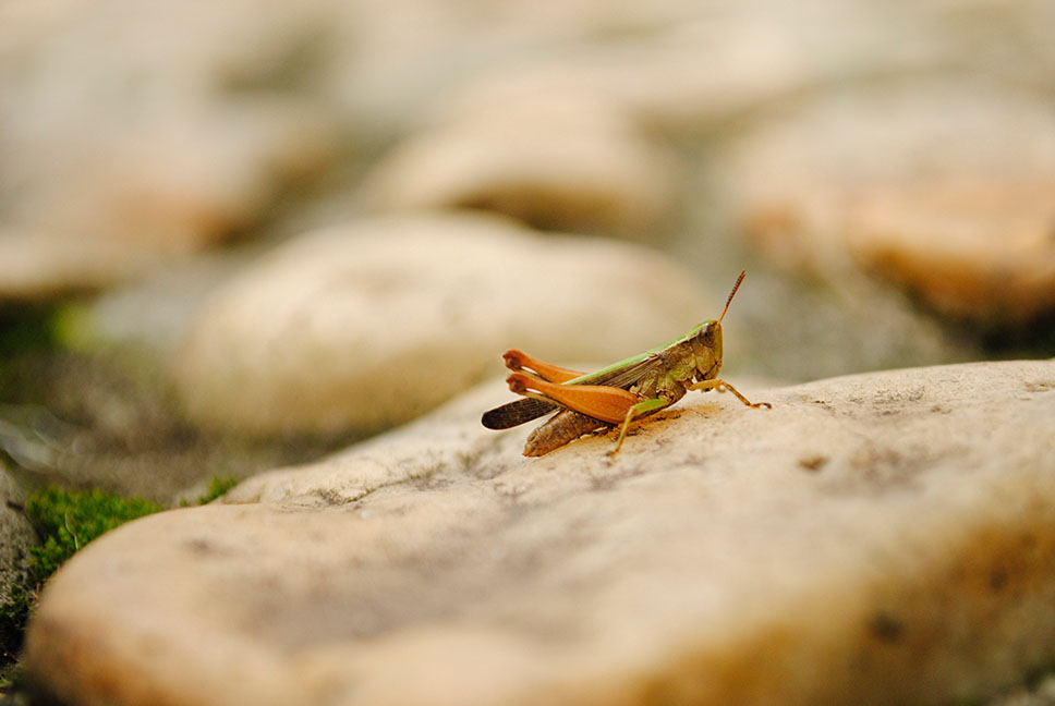A grasshopper sitting on a rock
